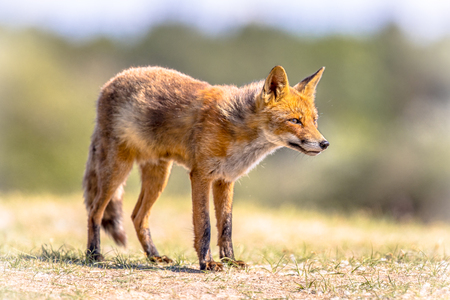 Red fox (Vulpes vulpes) in natural vegetation. This beautiful wild animal of the wilderness. Standing and looking to the side. Stock Photo