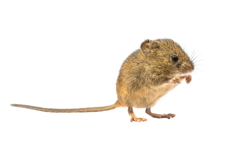 Cute Harvest Mouse (Micromys minutus) standing on hinds legs on white background, studio shot. This is the smallest rodent species native to Europe and Asia. It is typically found in fields of cereal crops, such as wheat and oats, in reed beds. 版權商用圖片