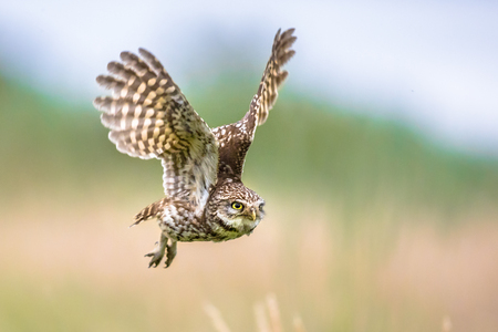 Little Owl (Athene noctua) nocturnal bird flying at dawn hunting for prey on Belgian countryside in Flanders