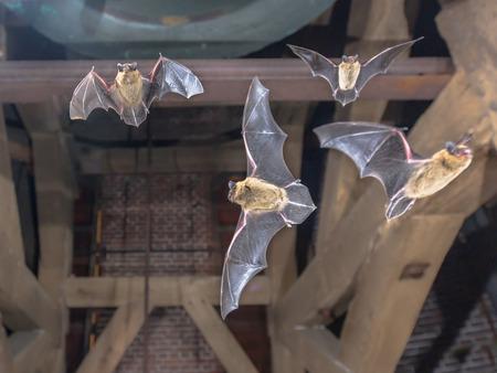 Quattro pipistrelli Pipistrellus (Pipistrellus pipistrellus) che volano nel campanile di una chiesa Archivio Fotografico