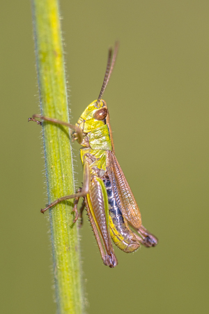 water-meadow grasshopper (Chorthippus montanus) close up on a grass stem