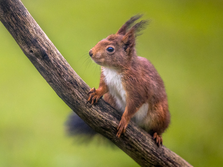 Red squirrel (Sciurus vulgaris) positioned on branch while looking at camera Banque d'images