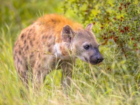 L'hyène tachetée (Crocuta crocuta) charognard se faufilant dans la longue herbe verte sous la lumière du matin. Banque d'images