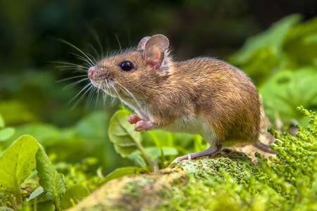 Lindo ratón de madera salvaje descansando sobre la raíz de un árbol en el suelo del bosque con una exuberante vegetación verde