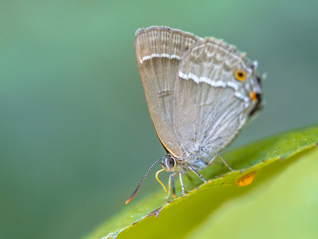 Purple hairstreak (Neozephyrus quercus) butterfly eating sugars on leaves of oak