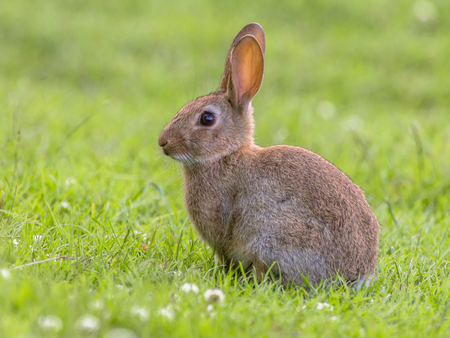 Wild rabbit (Oryctolagus cuniculus) on lovely green vegetation background with beautiful white flowers