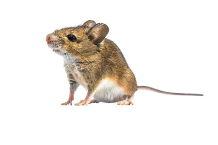 Bellissimo topo di legno (Apodemus sylvaticus) isolato su sfondo bianco. Questo topo dall'aspetto carino si trova in gran parte dell'Europa ed è una specie molto comune e diffusa.