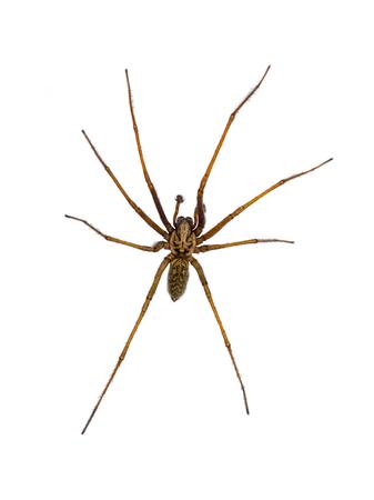 Riesige Hausspinne (Eratigena atrica) von oben nach unten Blick auf Spinnentiere mit langen behaarten Beinen isoliert auf weißem Hintergrund