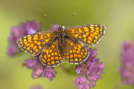 Meadow fritillary (Melitaea parthenoides) butterfly resting on flower with bright green background