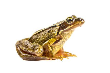 Rana marrone comune (rana temporaria) vista laterale e guardando nella telecamera su sfondo bianco