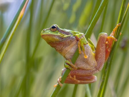 Tree frog (Hyla arborea) getting looking up and ready to jump from common rush (juncus effusus)