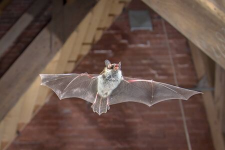 Il pipistrello di Natterer volante (Myotis nattereri) ha sparato a caccia di animali sulla soffitta in legno della chiesa della città. Questa specie è nota per essere appollaiata e vivere nelle aree urbane in Europa e in Asia. Archivio Fotografico