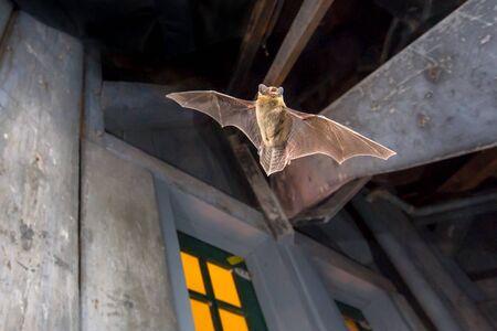 Batte pipistrelle volante (Pipistrellus pipistrellus) photo d'action d'un animal de chasse sur le grenier en bois de l'église de la ville. Cette espèce est connue pour se percher et vivre dans les zones urbaines d'Europe et d'Asie.
