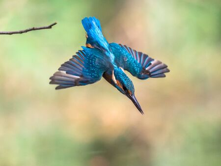 Common European Kingfisher (Alcedo atthis). river kingfisher diving in water from lookout post on green natural background