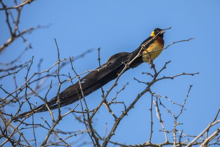 Long-tailed paradise Wydah (Vidua paradisaea) bird perched on branch in tree of Kruger national park South Africa