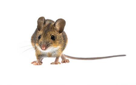 Mouse di legno carino (Apodemus sylvaticus) isolato su sfondo bianco. Questo topo dall'aspetto carino si trova in gran parte dell'Europa ed è una specie molto comune e diffusa. Archivio Fotografico
