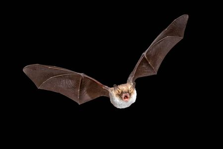 Flying Natterer's bat (Myotis nattereri) action shot of hunting animal isolated on black background. This species is medium sized with distictive white belly, nocturnal and insectivorous and found in Europe and Asia.