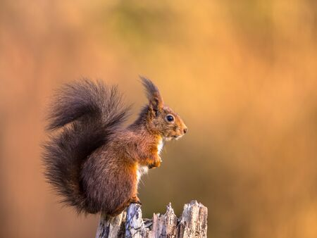 Red squirrel (Sciurus vulgaris) sitting on trunk while animal is looking attentive against large bright brown autumn background with lots of copyspace