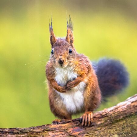 Red squirrel (Sciurus vulgaris) sitting on branch of tree while animal is looking at camera