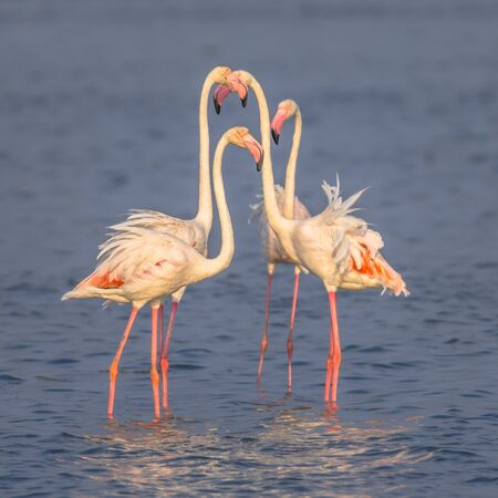 Four Flamingo  (Phoenicopterus roseus) birds socialising while foraging in shallow water of Camarque Nature reserve, Cote DAzur, Southern France