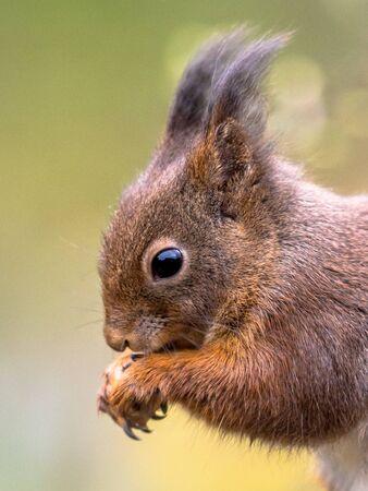 Red squirrel (Sciurus vulgaris) close up of side view portrait. Animal sitting while eating from forelegs. 版權商用圖片