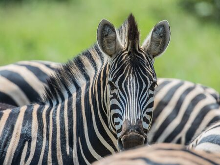 Common Zebra (Equus quagga) looking at camera in Kruger national park South Africa 版權商用圖片