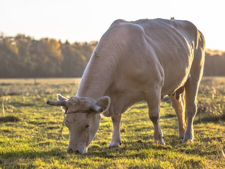 White cow grazing in natural grassland back lit by setting sun. Netherlands