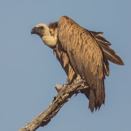 White-backed vulture (Gyps africanus) resting in dead tree in Kruger national park South Africa 版權商用圖片