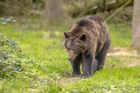 European brown bear ((Ursus arctos) walking in forest habitat. This is the most widely distributed bear and is found across much of northern Eurasia and North America. 版權商用圖片