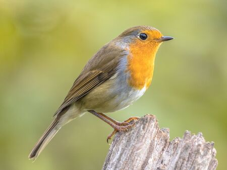 European red robin (Erithacus rubecula) perched on stick with bright back lit morning light in garden