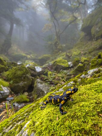 Fire salamander (Salamandra salamandra)  is possibly the best-known salamander species in Europe. Animal in close up in natural mountain forest habitat landscape near stream where reproduction occurs.