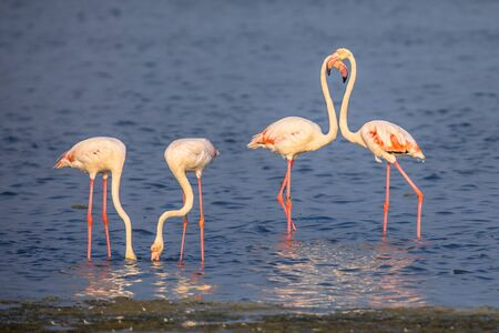 Four Flamingo  (Phoenicopterus roseus) birds socialising and foraging in shallow water of Camarque Nature reserve, Cote DAzur, Southern France