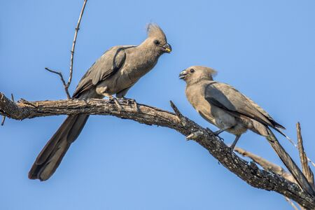 Grey go-away-bird (Corythaixoides concolor) or Lourie bird couple courtship on branch in Kruger national park South Africa