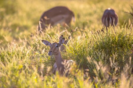 Impala (Aepyceros melampus) resting in eary morning light in grass of savanna in Kruger national park South Africa