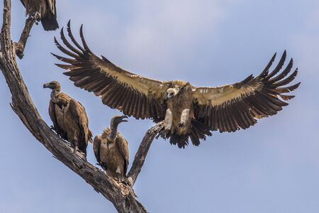 White-backed vulture (Gyps africanus) group of birds perched in dead tree while one bird is landing in Kruger national park South Africa