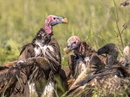 Lappet-faced vulture (Torgos tracheliotus) with pink head among White-backed vultures (Gyps africanus) pack at cadaver in Kruger national park South Africa