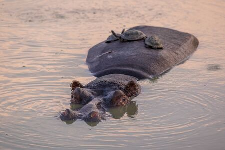 Hippopotamus (Hippopotamus amphibius) or hippo swimming in water and accompanied by African helmeted turtles on back in Kruger National park, South Africa