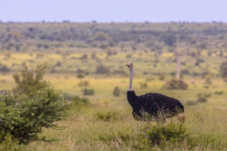 South African Ostrich (Struthio camelus australis) male on green savanna in Satara bushveld savanna of Kruger national park South Africa looking at camera
