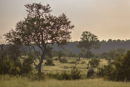 Savanna landscape with trees bushes and grass in early morning in Kruger national park South Africa