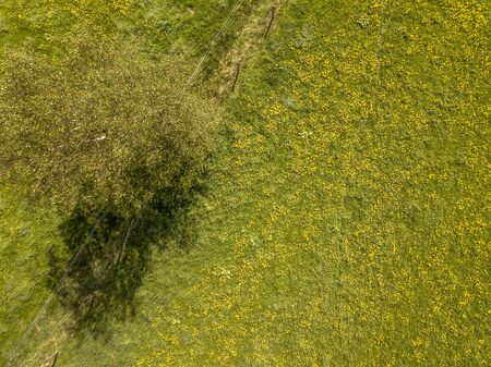 Aerial scene of Yellow wildflowers, fence and tree. Meadow buttercup (Ranunculus acris) blooming in agricultural grassland.