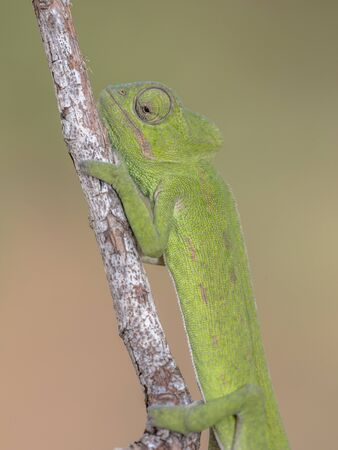 Close up of African chameleon (Chamaeleo africanus) on branch with blurred background