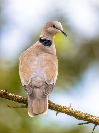 Cape turtle dove (Streptopelia capicola) perched on branch with bright background