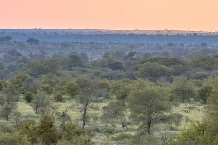 African Savanna plain overview with trees bushes and grass at sunset in Kruger national park South Africa