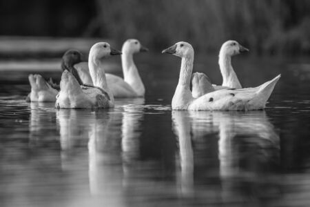 Group of white geese (Anser anser domesticus) looking alerted at camera and about to flee