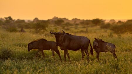 Savanna bush back lit by Orange morning light with three Common Blue Wildebeest or Brindled Gnu (Connochaetes taurinus) passing by on famous S100 road in Kruger national park South Africa