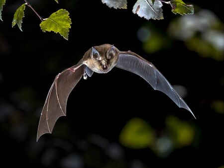 Flying bat hunting in forest. The Greater horseshoe bat (Rhinolophus ferrumequinum) occurs in Europe, Northern Africa, Central Asia and Eastern Asia. It is the largest of the horseshoe bats in Europe and is thus easily distinguished from other species.