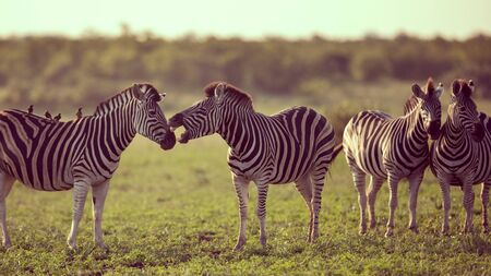 Four Common Zebra (Equus quagga) grooming each other in bushveld savanna of Kruger national park South Africa