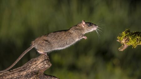 Wild Brown rat (Rattus norvegicus) starting to jump from log at night. High speed photography image 版權商用圖片