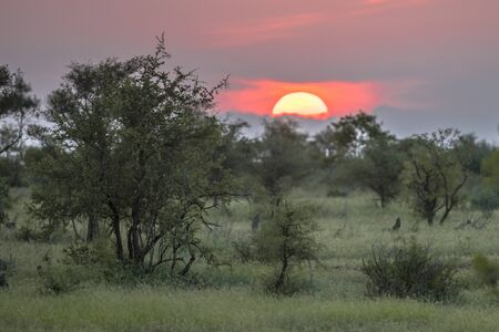 African Sun above silhouette Savanna trees bushes and grass at sunset in Kruger national park South Africa Banco de Imagens