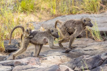 Two Chacma baboon (Papio ursinus) mother animals walking with young suckling on bridge in Kruger national park South Africa 스톡 콘텐츠